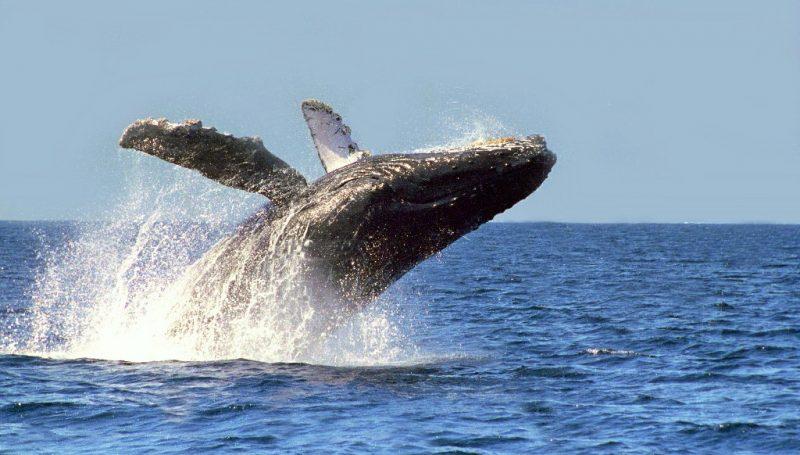 Rescartar ballenas sin un plan
